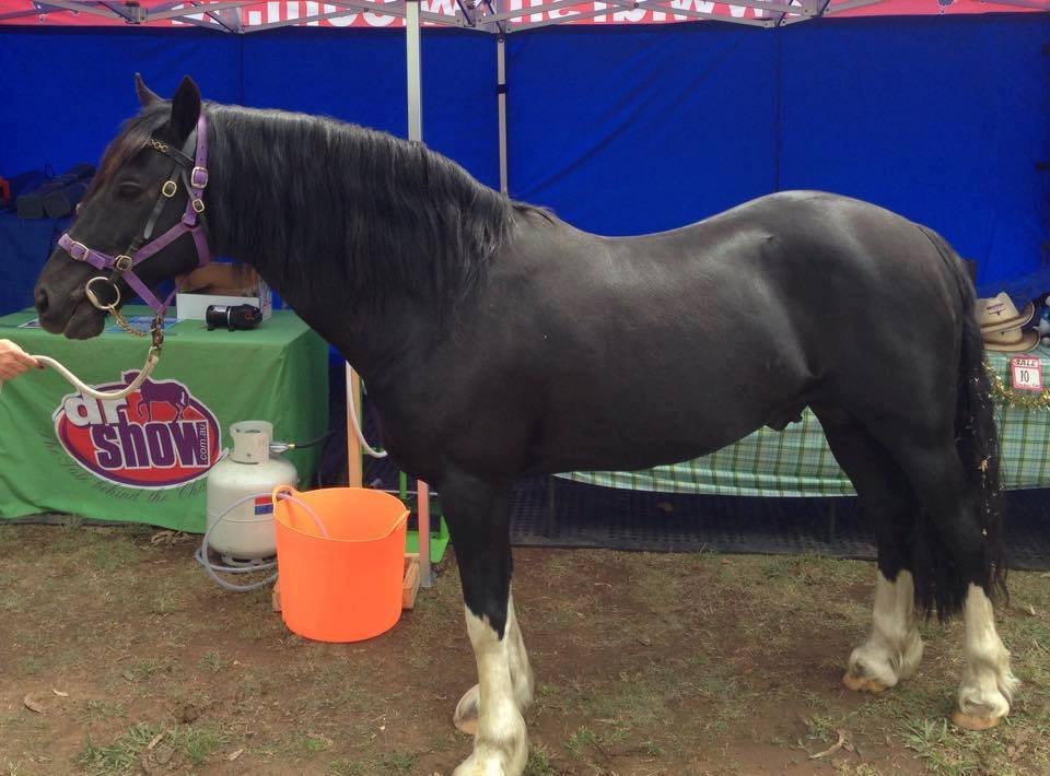 Dr SHow Horse Shampoo Results